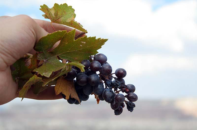 Очень вкусный темный виноград в долине.