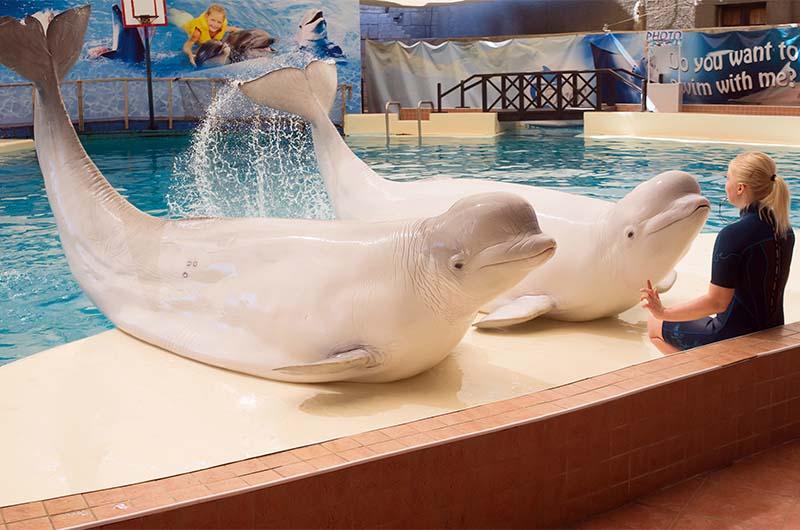 Белухи в дельфинарии города Белека