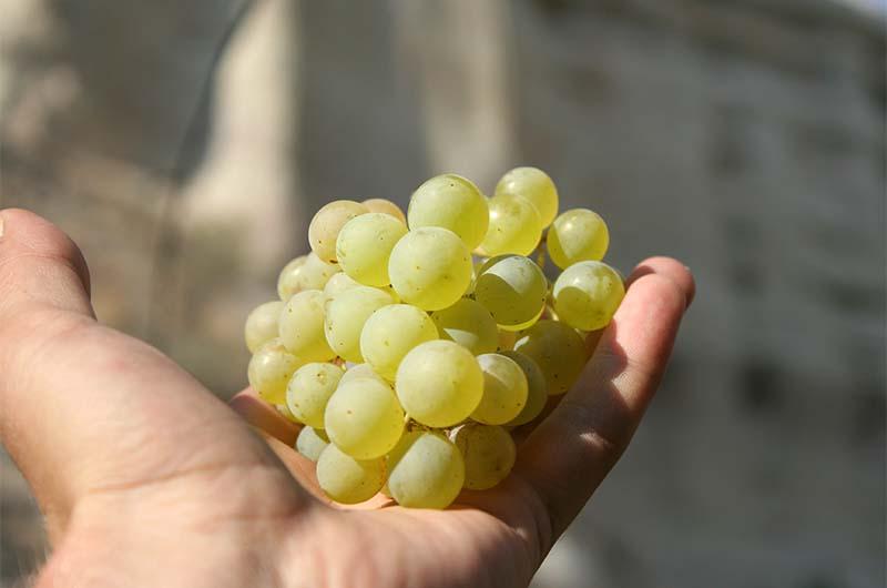 Осенью в долине вызревает очень сладкий виноград.