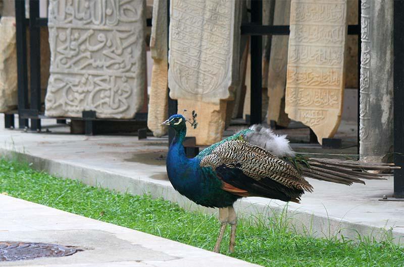 В саду музея гуляют павлины.