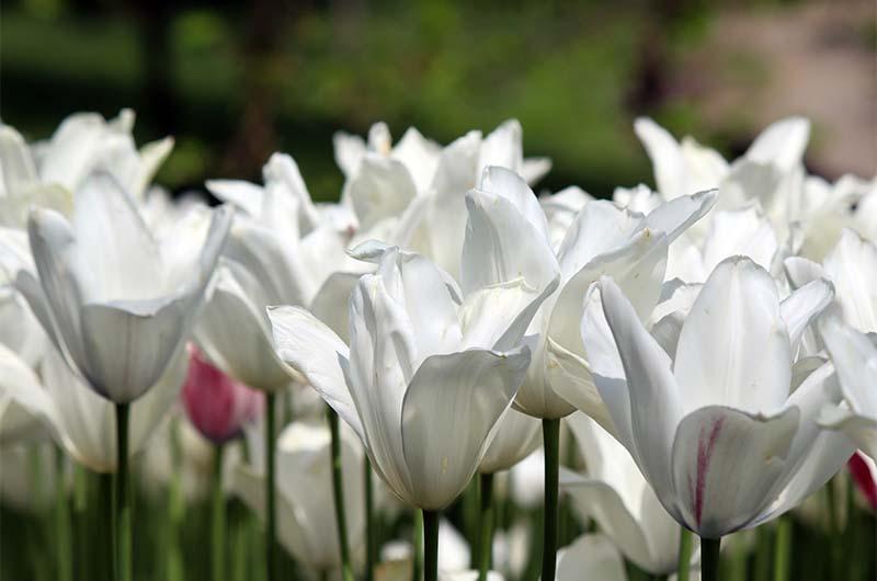Очень крупные белые тюльпаны в парке.